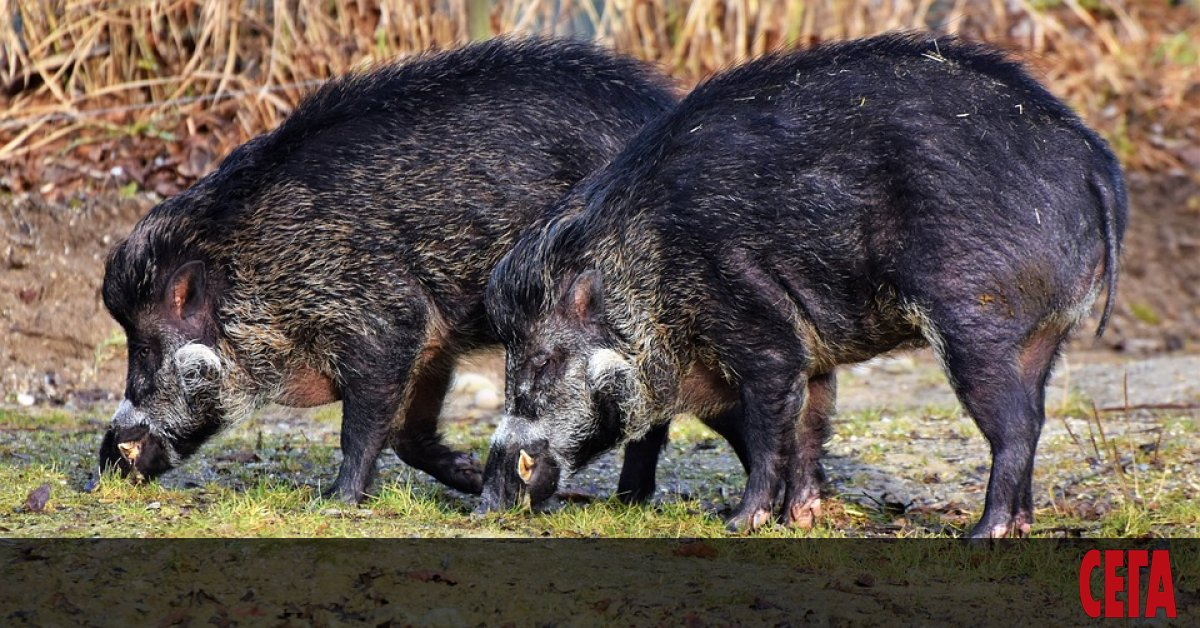 Нови седем случая на африканска чума при диви свине са