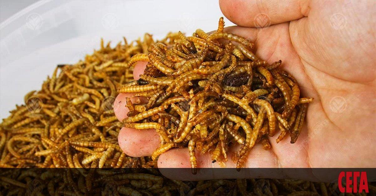 Брашнените червеи станаха първите насекоми, които бяха одобрени за човешка